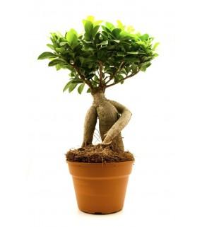 Ficus Giseng Bonsai
