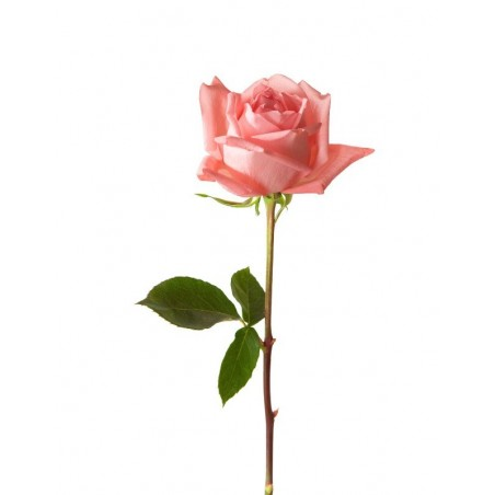 Rose Rose Pale