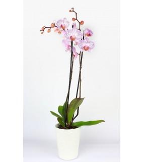 Orchidée Bi Color 2 branches