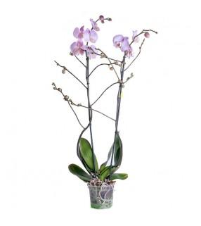 Orchidée Rose Pâle 2 branches